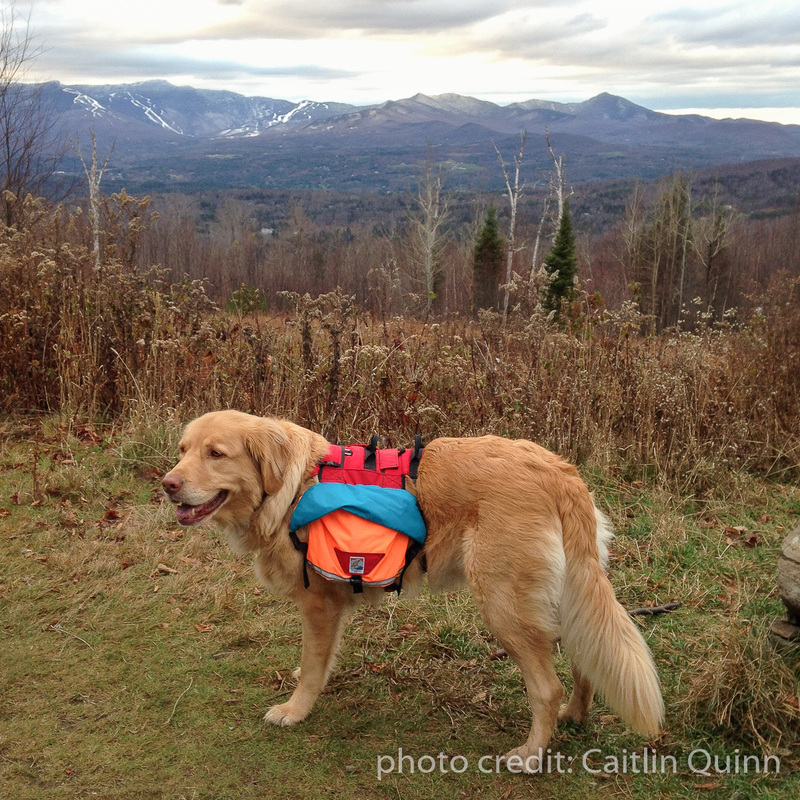 Vaida the Lab-Newfoundland mix at Stowe Pinnacle wearing a custom dog pack by Groundbird Gear